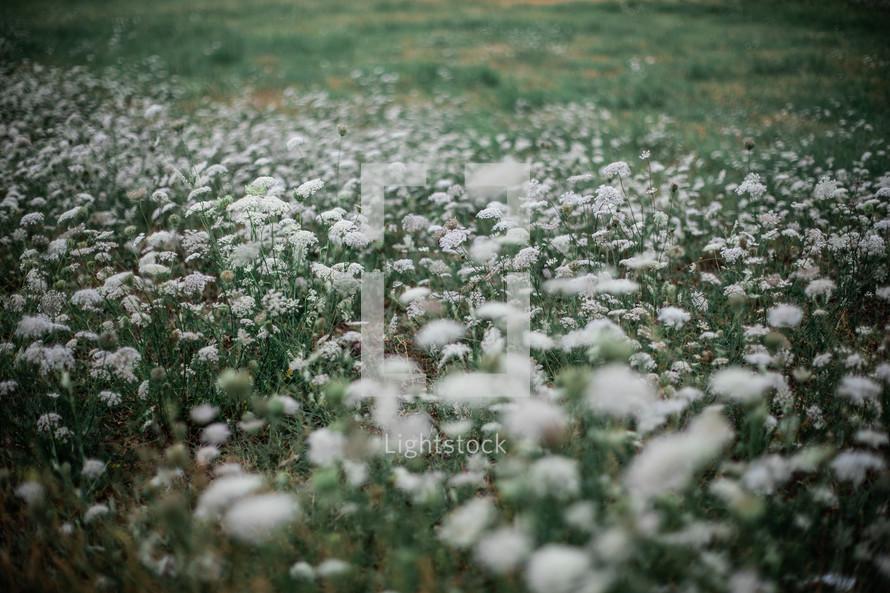 white flowers in a field