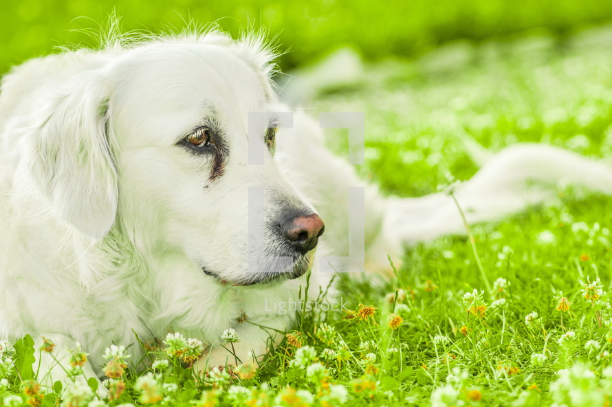 A dog lying in the grass.