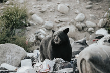 bear digging through trash
