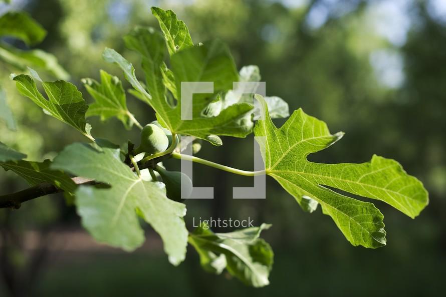 Jesus Curses a Fig Tree, Mark 11:12-26