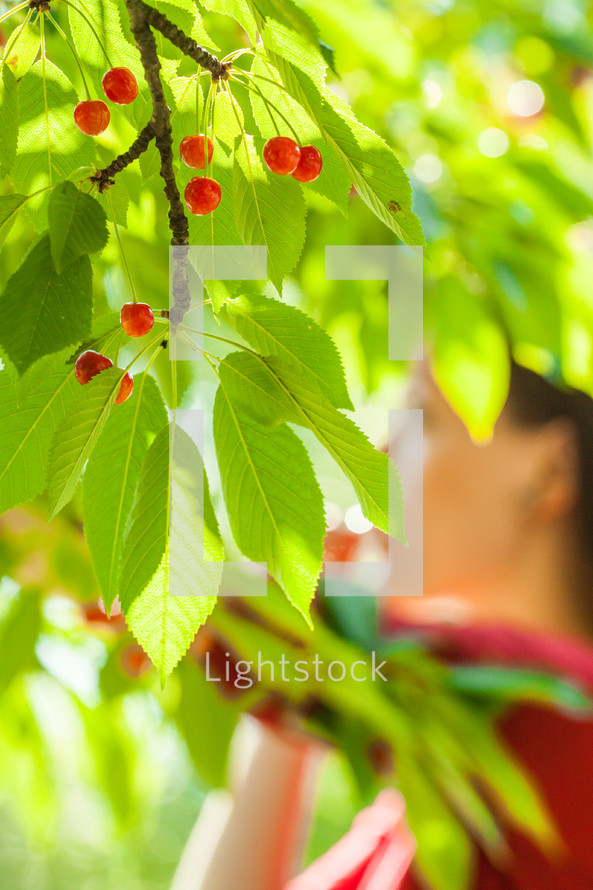 Red berries and green leaves on a tree.