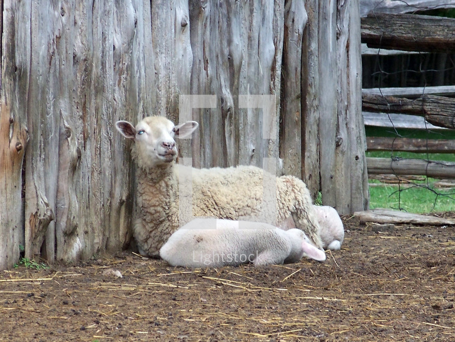A mother sheep watches over its baby as it sleeps against the side of a wooden barn in rural Virginia on a farm.