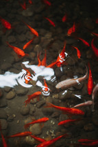 koi fish in a koi pond