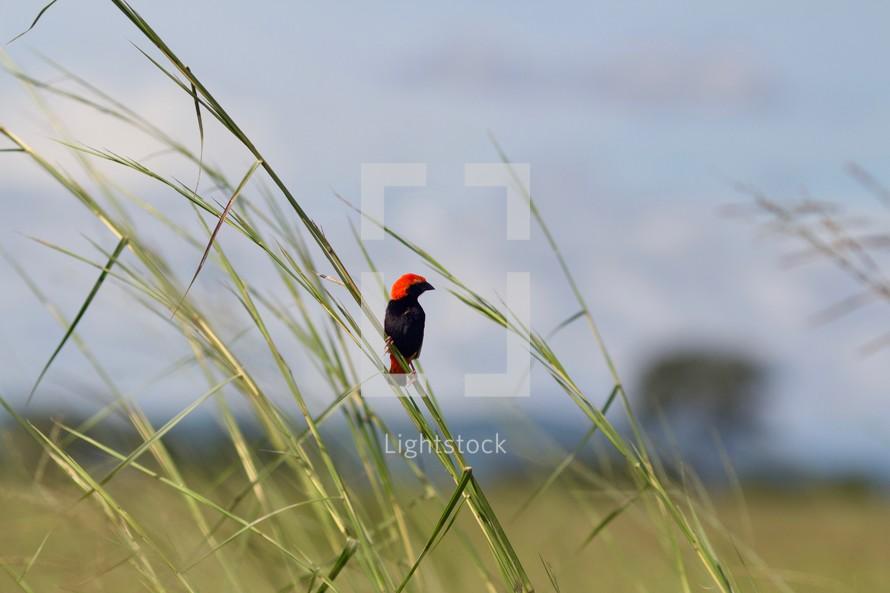 red bird on tall green grasses