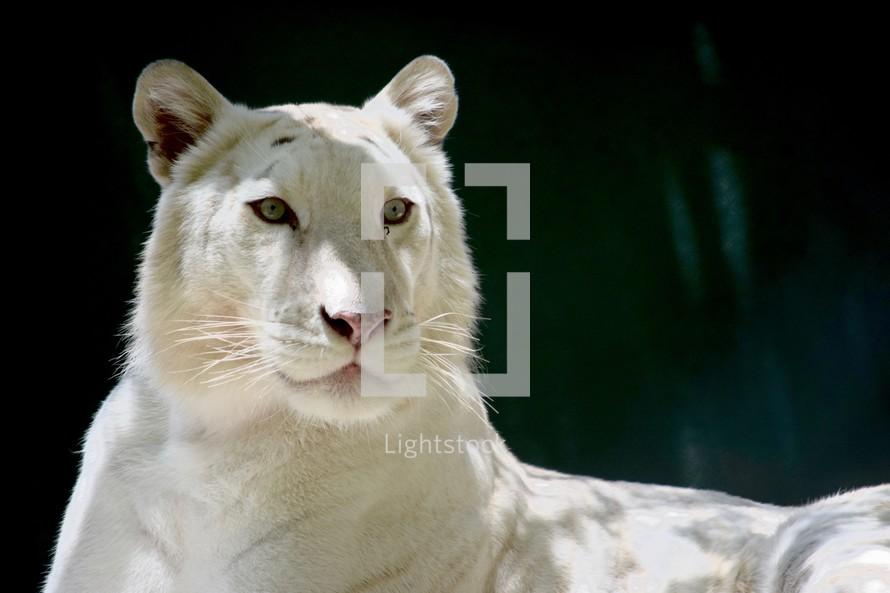 a regal white tiger