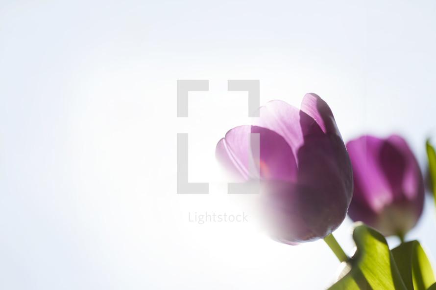 purple tulips with backlit sun flare