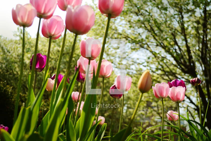Pink tulips against a background of trees.