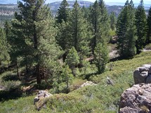 spruce trees  in a mountain forest