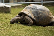 grazing tortoise