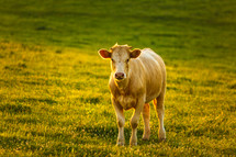 a cow in a pasure