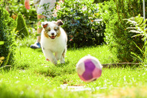 A puppy chasing a ball.