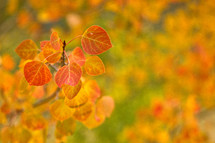 Orange Aspen leaves in the fall with a yellow and green background