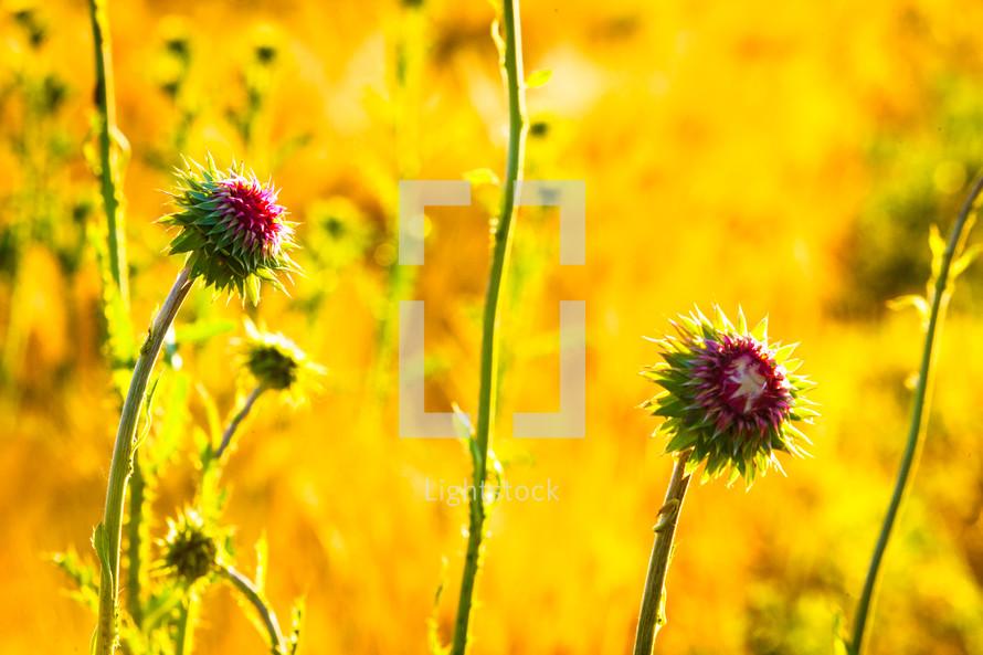 fuchsia wildflowers in a field of wheat