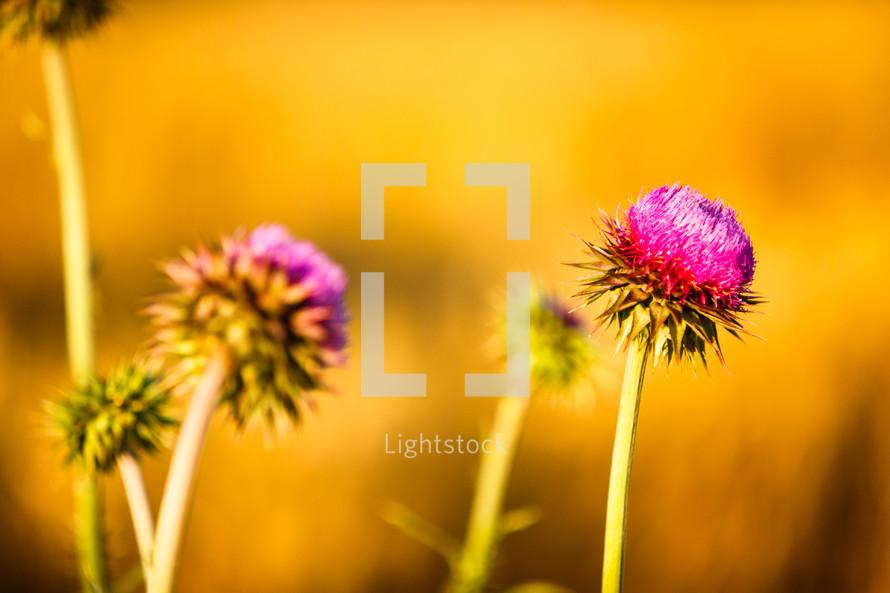 fuchsia flower in a field of wheat