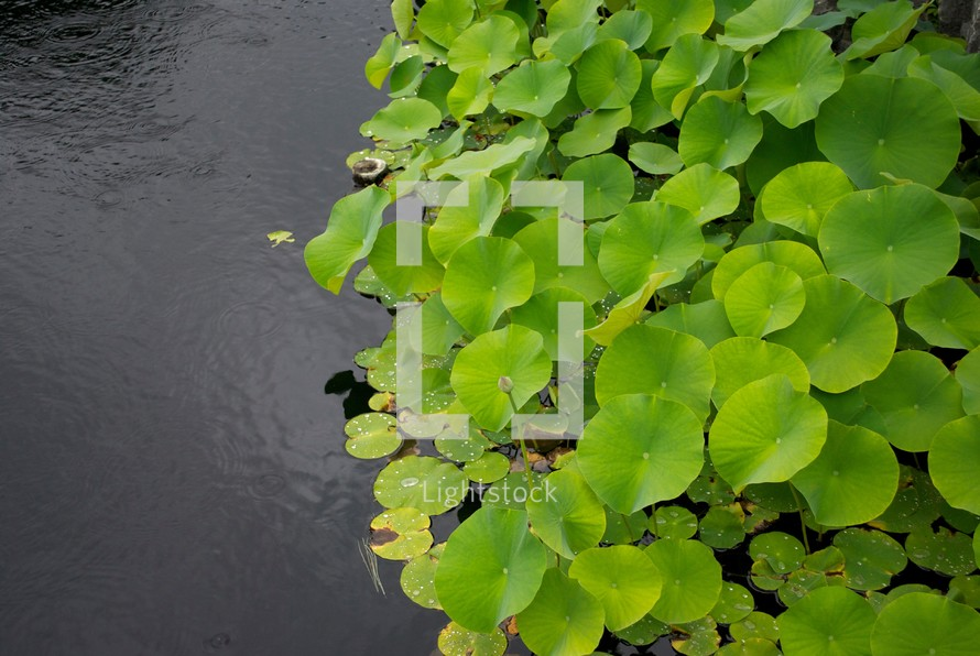 lilypads in water