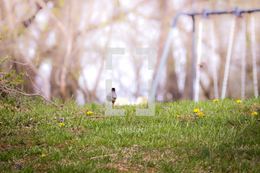 robin in grass