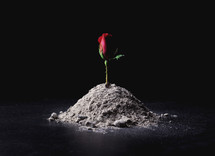 red rose in ashes