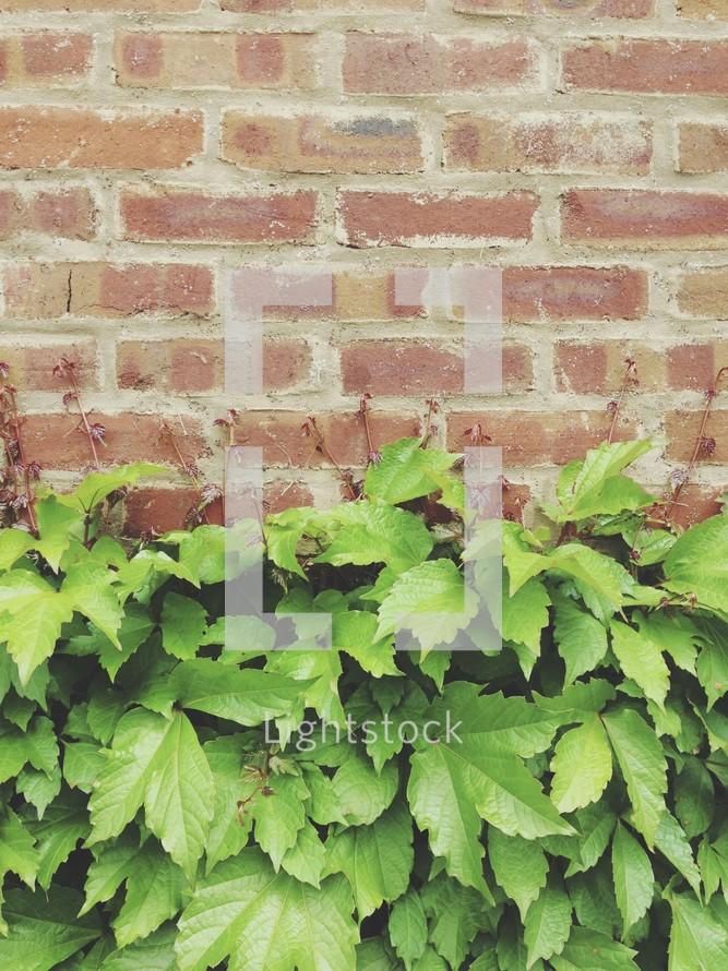 ivy and a brick wall