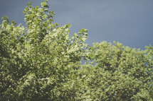 green leaves on a tree under a gray sky