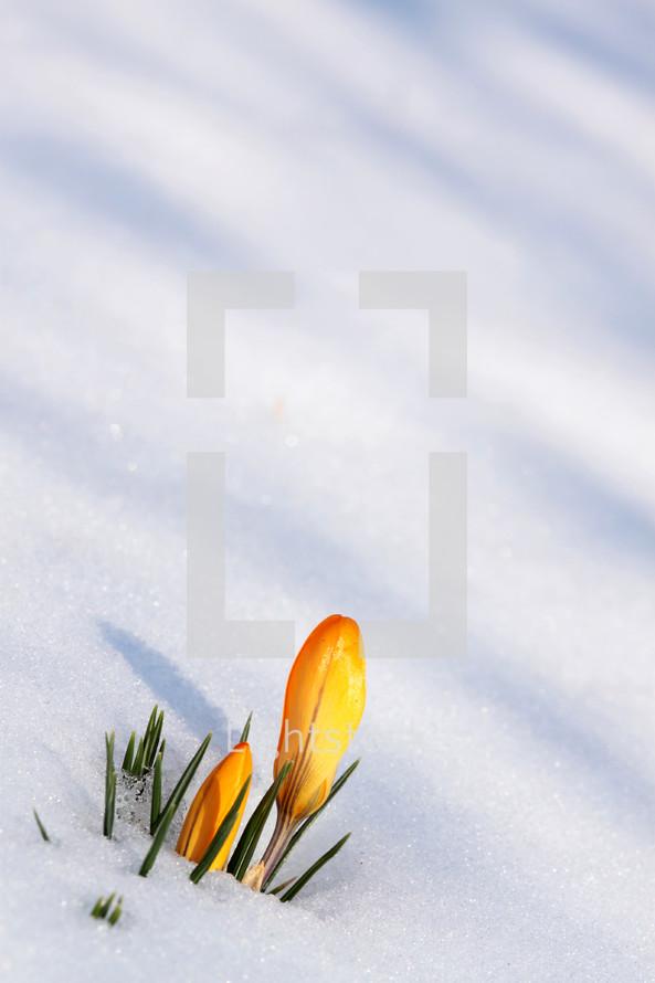 tulip buried in snow