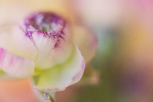 Ranunculus flower.
