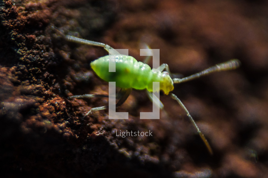 Bright green aphid in the dirt