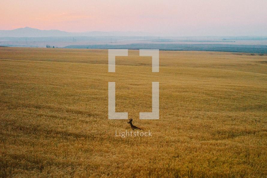 deer in a field of wheat