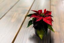 red poinsettia flower