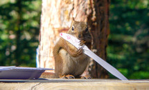 a squirrel licking a knife