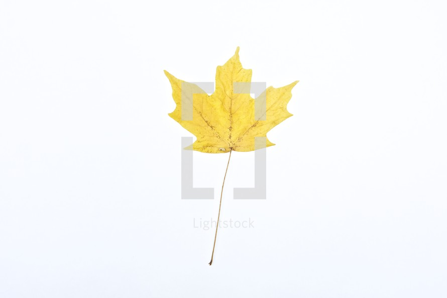 Yellow leaf isolated on white background.