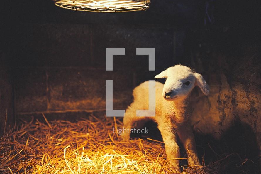 a lamb under a heat lamp
