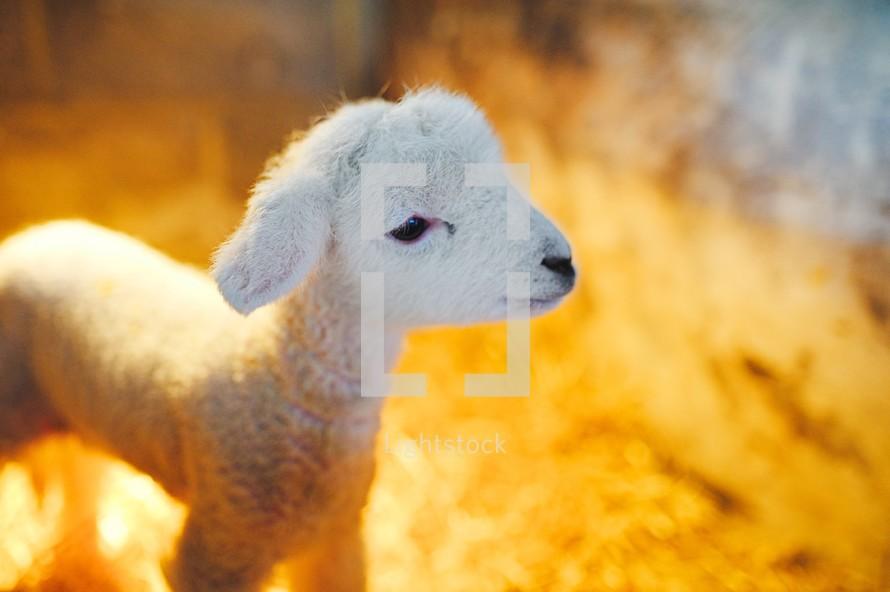a tiny lamb