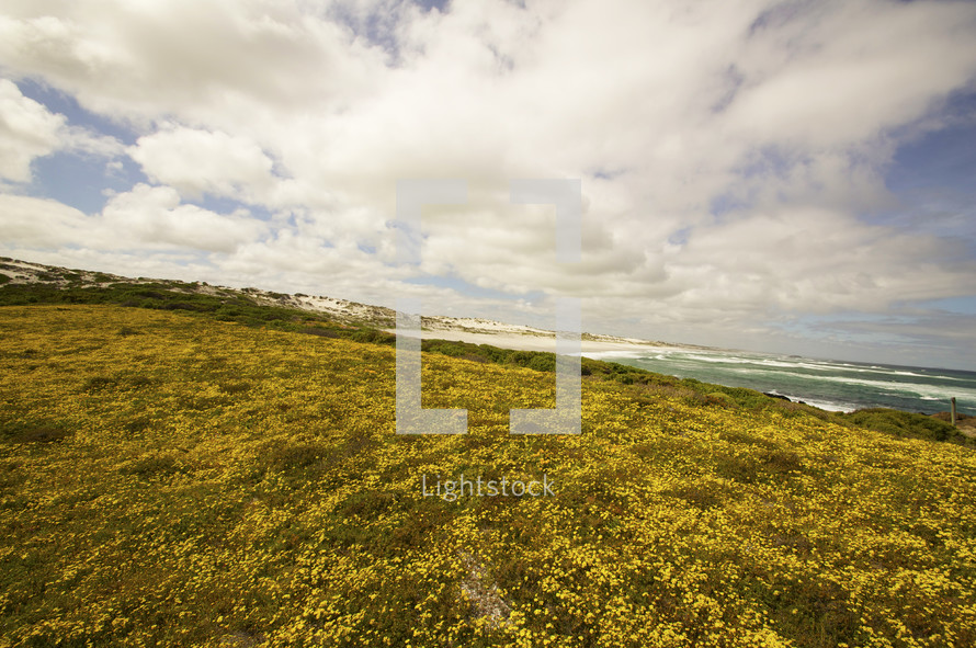 A field of yellow flowers by the ocean