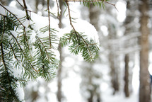 snow on pine branches