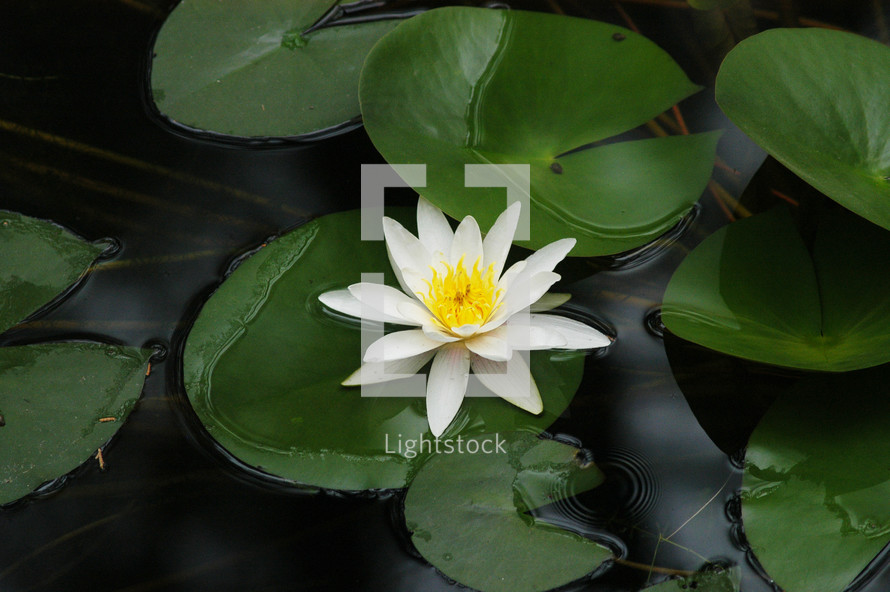 lily pads with white water lily flower