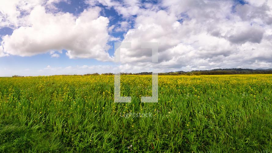 mustard flowers in a field