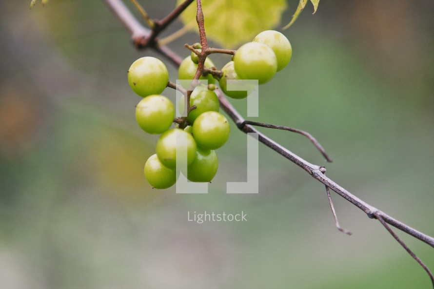 Green berries on a twig.