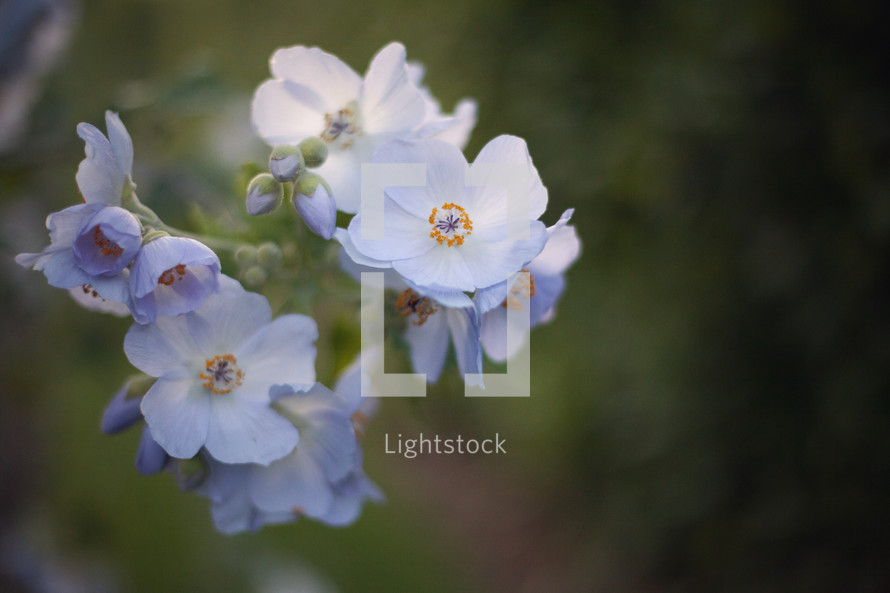 white and light purple spring flowers
