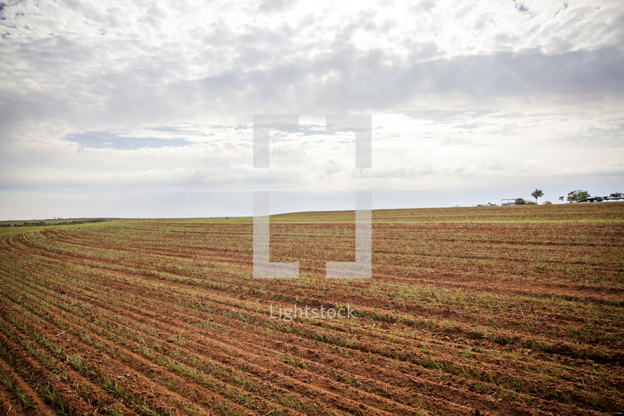 A crop sprouting in rows in a plowed field.