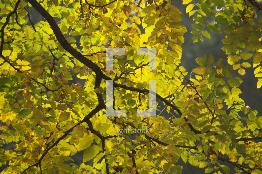 Yellow and green fall leaves on a branch with sunlight behind