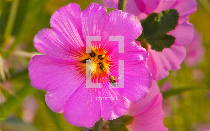 Close up of pink wild flower with honey bee