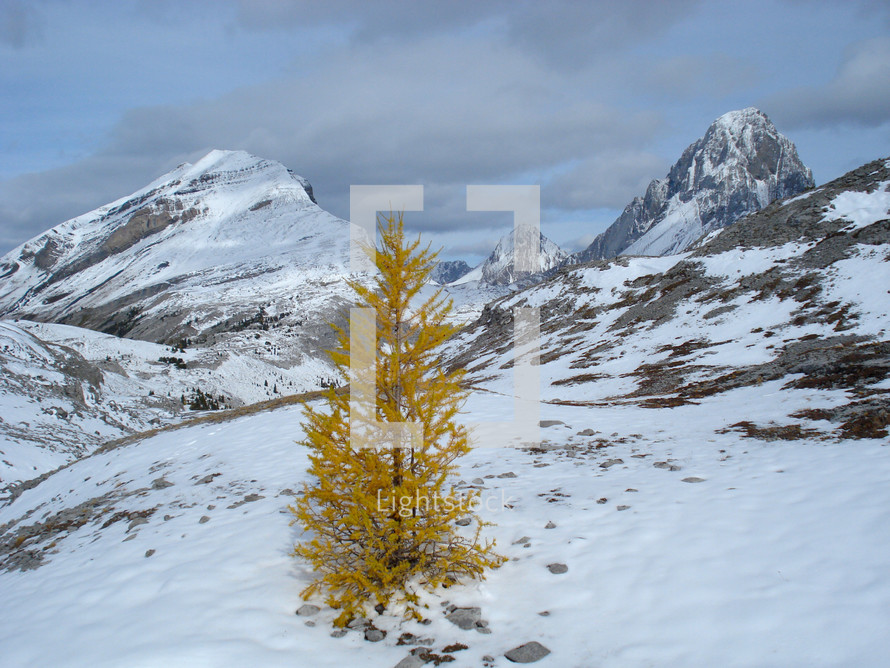 lone autumn tree on snow covered mountain