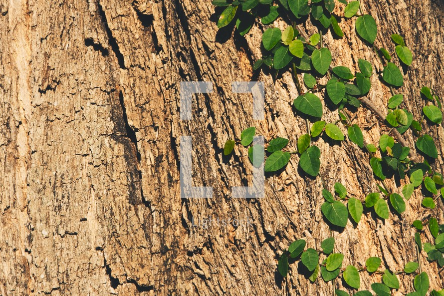 ivy growing on a tree trunk