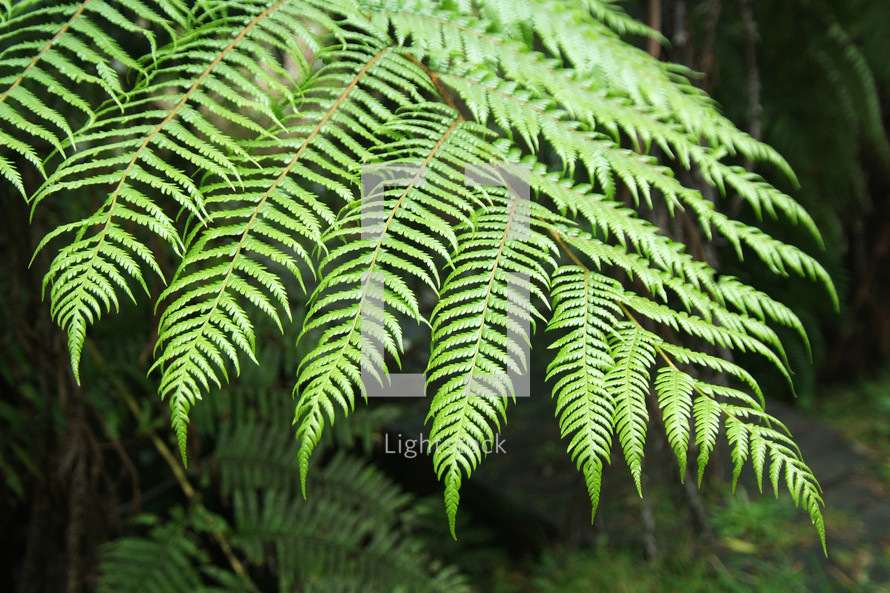 Green fern leaves, forest, nature,