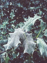 frost on holly leaves