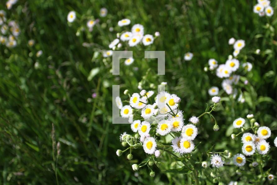 White wildflowers.