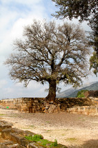 Ancient tree from Biblical times in Israel