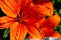 Orange tiger lilies.