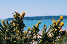 yellow flowers on a bush along a shore