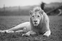 lion lying in the grass